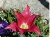 tulipan-11