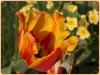 tulipan-2