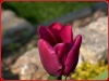 tulipan-4