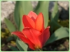 tulipan-7