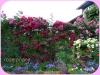 roze-pnace