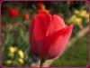 tulipan-10