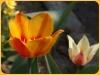 tulipan-12
