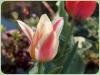 tulipan-5
