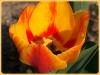 tulipan-8