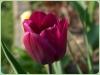 tulipan-9
